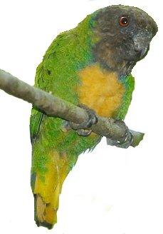 Дятловые попугайчики | «Говорящий попугай»