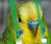 Агрессивный волнистый попугай